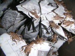 画像1: ヨーロッパイエコオロギ ML 50匹